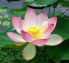 jing lotus
